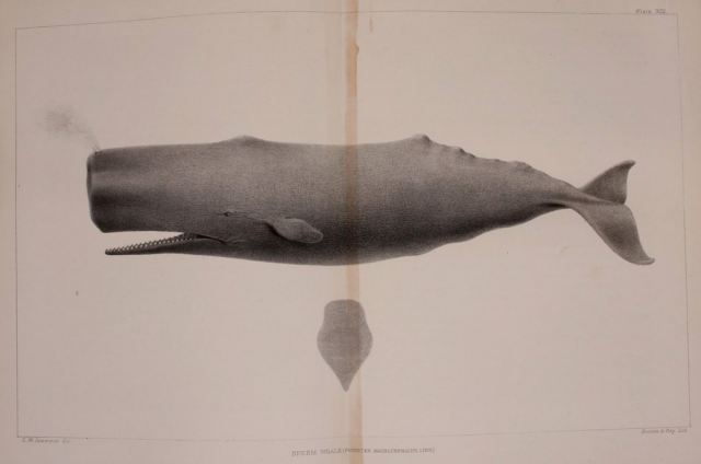 sperm whale.png